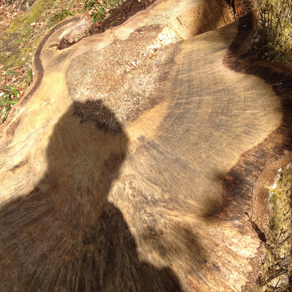 oak tree stump