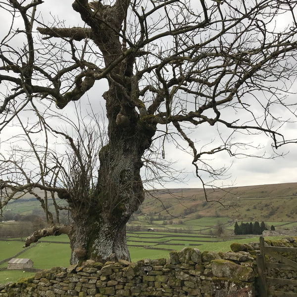 ancient ash tree muker