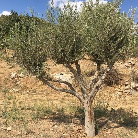 Did you know the average lifespan of an olive tree is 500 years old?!⠀