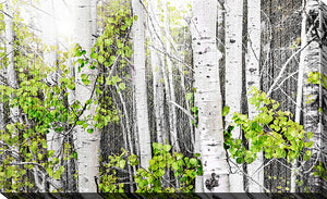 "Giclee Stretched Canvas Wall Art by Elena Elisseeva ""Aspens 1"", All Canvas Art,All Subjects,Landscapes,All Colors,All Shapes,All Artists,black & white art,Landscape Shape,Elena Elisseeva"