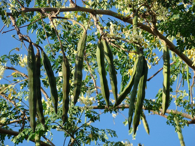 Moringa Oleifera also known as the the drumstick tree is packed with nutrients to help boost the immune system. The oil obtained from the seeds is excellent for the skin, packed with anti oxidants and anti fungal properties.