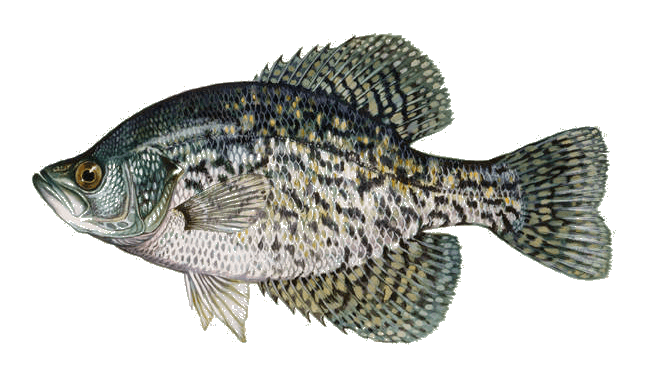 Picture of a black crappie | Fishing World | Canada