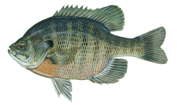 Picture of a type of sunfish called bluegill | Fishing World | Canada