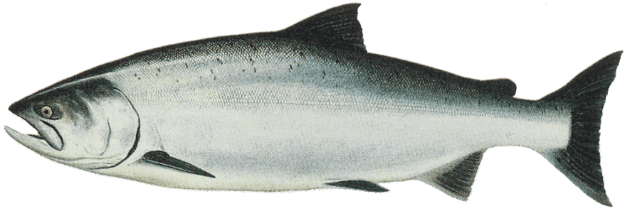 Picture of a chinook salmon | Fishing World | Canada