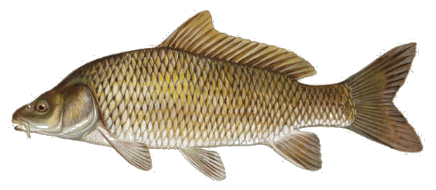 Picture of a common carp | Fishing World | Canada