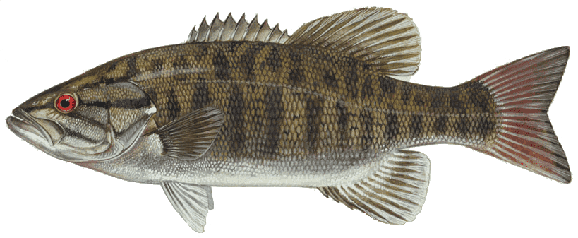 Picture of a smallmouth bass | Fishing World | Canada