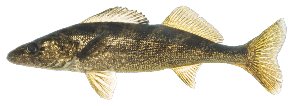 Picture of a walleye | Fishing World | Canada