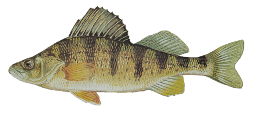 Picture of a yellow perch | Fishing World | Canada