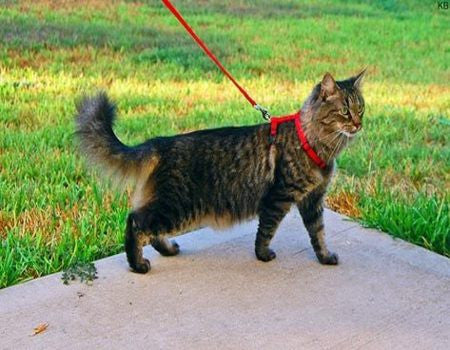 Training Your Cat to Walk on a Leash