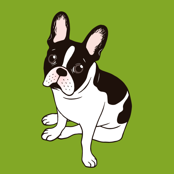 Cute double hooded pied French Bulldog
