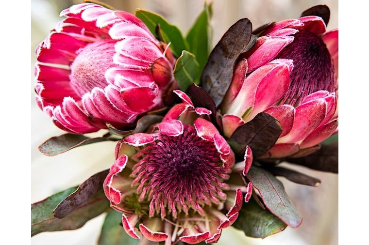 Pretty Protea Paint by Number By Pink Picasso