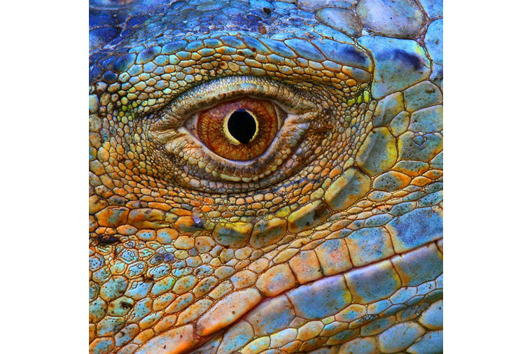 Zen Art Puzzles - Blue Iguana - Small