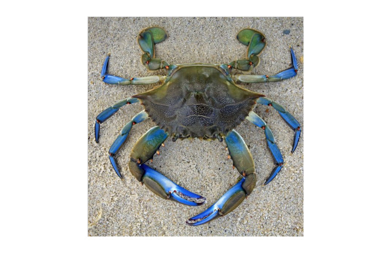 Zen Art Puzzle - Blue Crab - Small