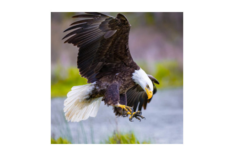 Bald Eagle Small Zen Puzzle