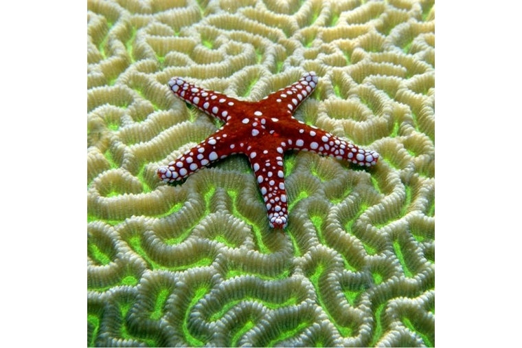 Starfish on Brain Coral Small Zen Art Puzzle