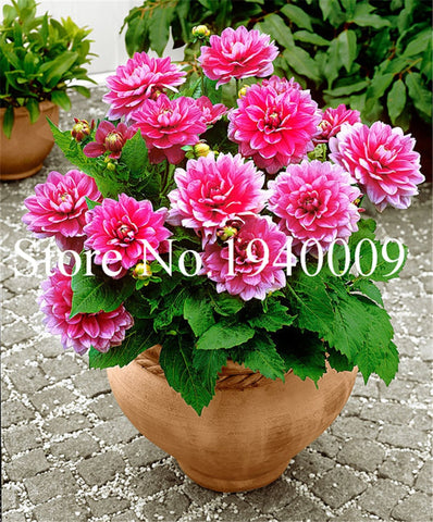 Hardy Heat-resisting Different Perennial Dahlia Flower Plants, 100 Pcs/Pack, Light Fragrant Garden Bonsai seeds