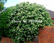 Heirloom 100% True Orange Jasmine Shrub with Fragrant White Flower Seeds, Professional Pack, 20 Seeds / Pack, Murraya Paniculata