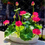 New 2018 Lotus Bonsai Plant, Bowl Lotus Seedling Potted Garden Plant Flower plsnt Aquatic Plant 5Pcs/Bag