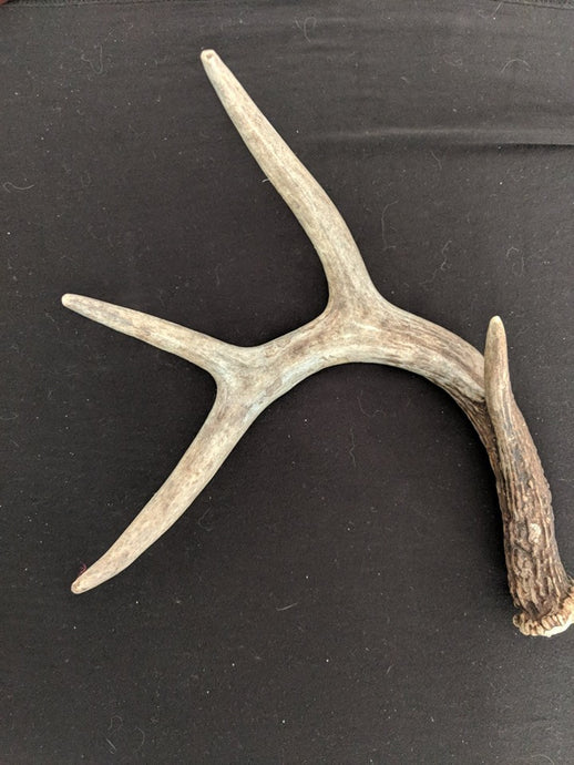 Small WHOLE Deer Antler