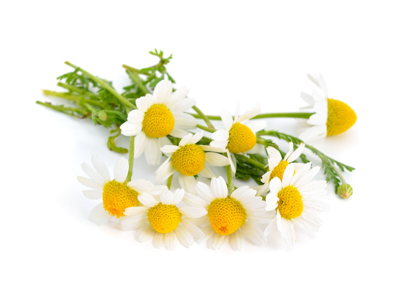 Chamomile: A Classic Cure-All