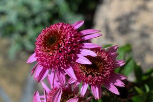 Echinacea Health Benefits