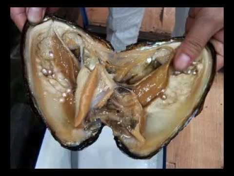 real pearl formation oyster