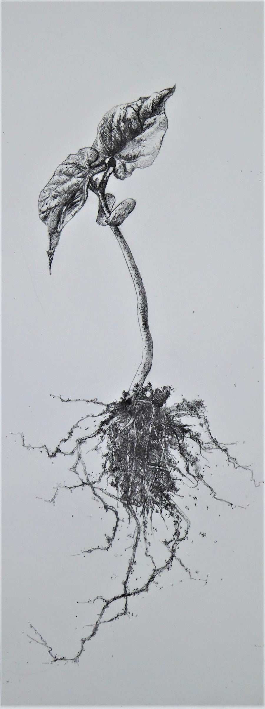 View and buy original paintings online at The Biscuit Factory. Part of the New Light Exhibition 2020: 'Shoot' a print of a growing plant by Richard Foster. Image shows a tall black and white print of a growing plant including roots.