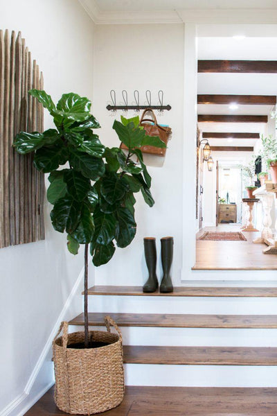 fiddle leaf fig tree in home design