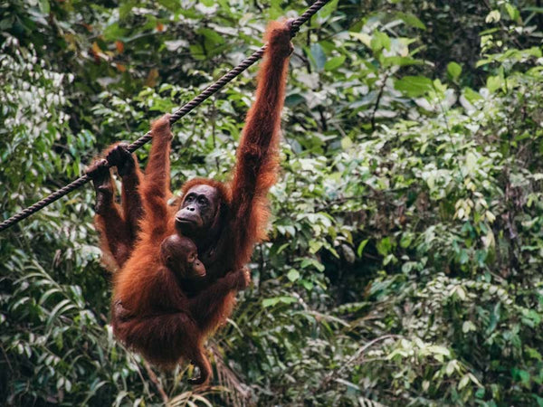 Lucy Bee is Palm oil free which means no orangutans are harmed