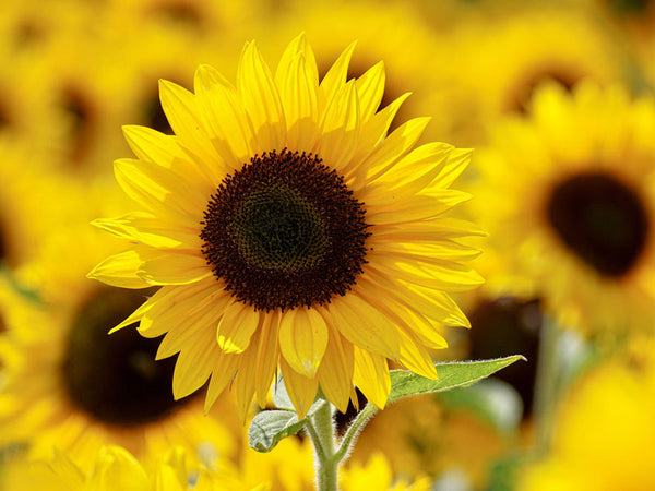 Sunflower oil is used in Brilliant Balm