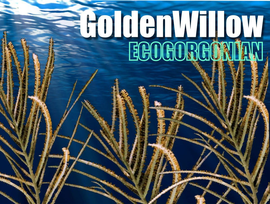 Golden Wispy Willow Gorgonian