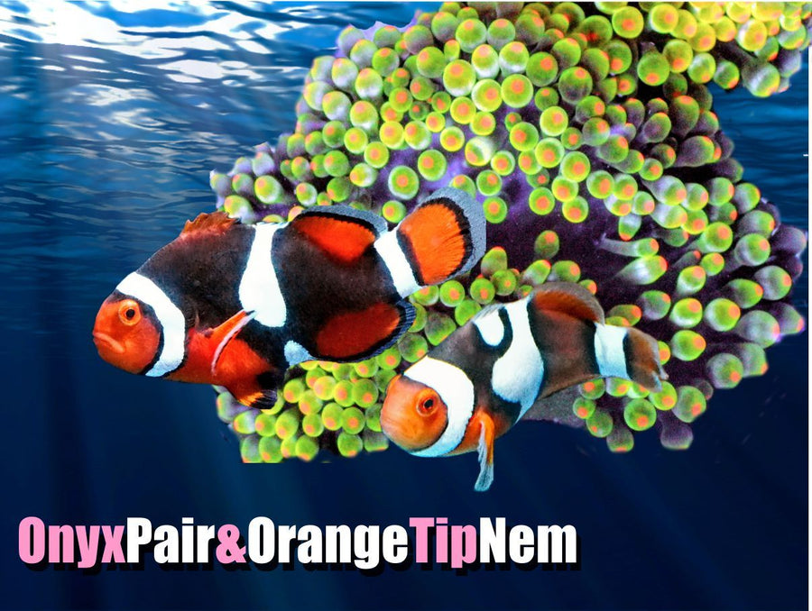 Onyx Clownfish Pair with Neon Orange Tip BTA