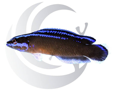 Black Neon Dottyback