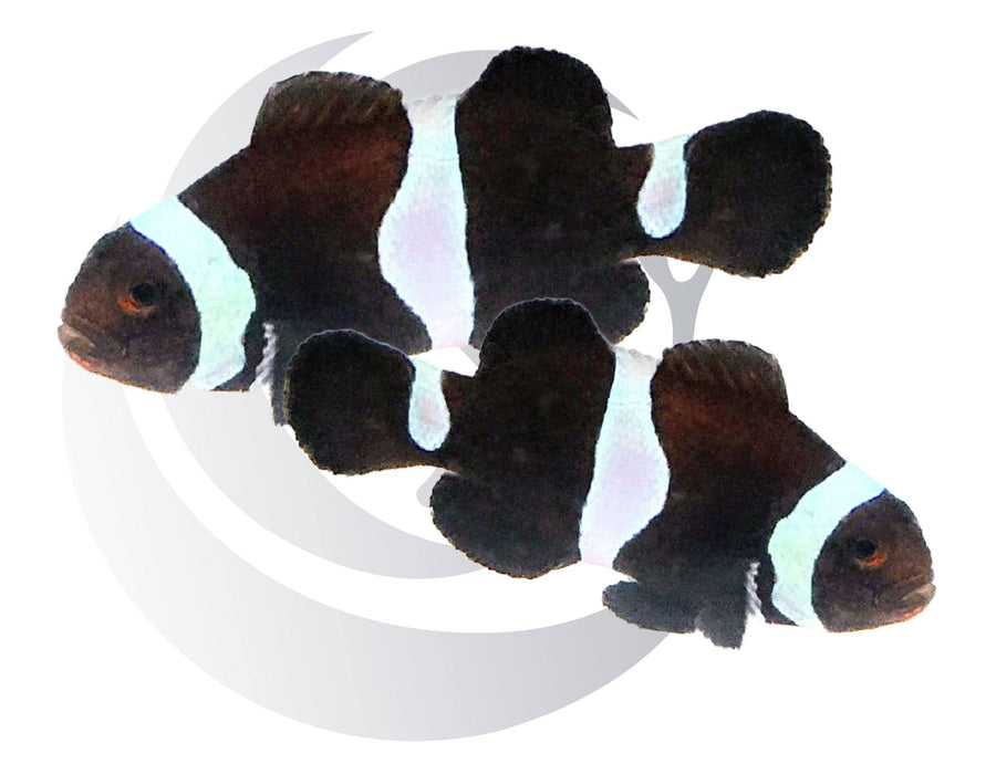 Black and White Ocellaris Clownfish Pair Captive Bred