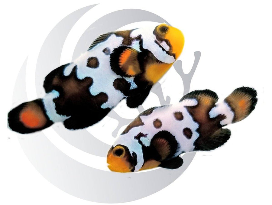 Blacker Ice Clownfish Pair Captive Bred Pair #2
