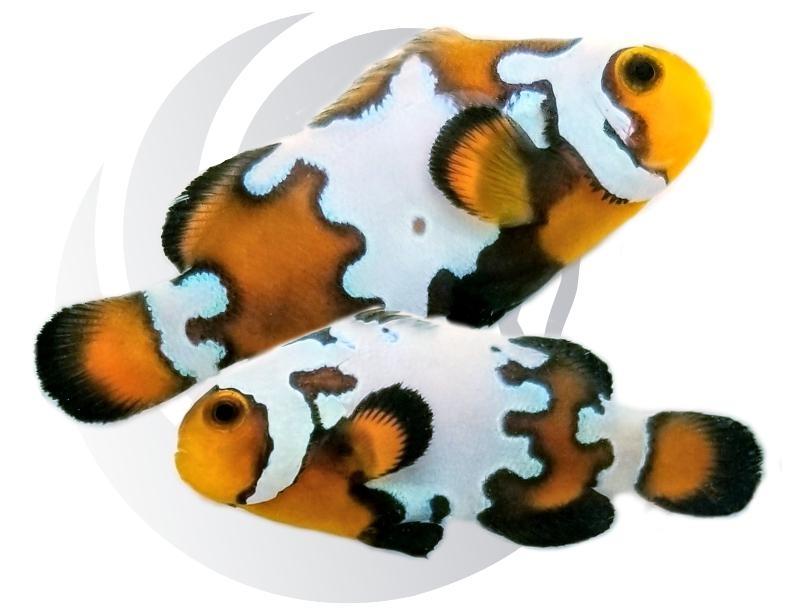 Blacker Ice Clown Fish Pair