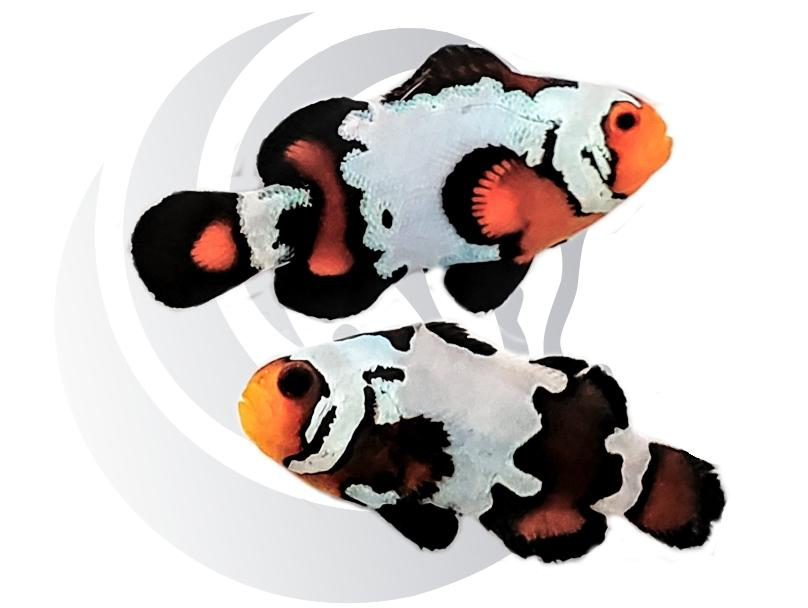 Blacker Ice Clownfish Pair Captive Bred