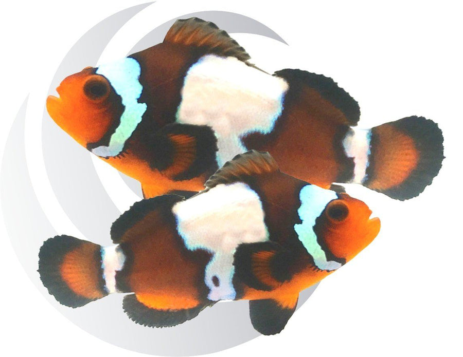 Blacker Ice Clownfish
