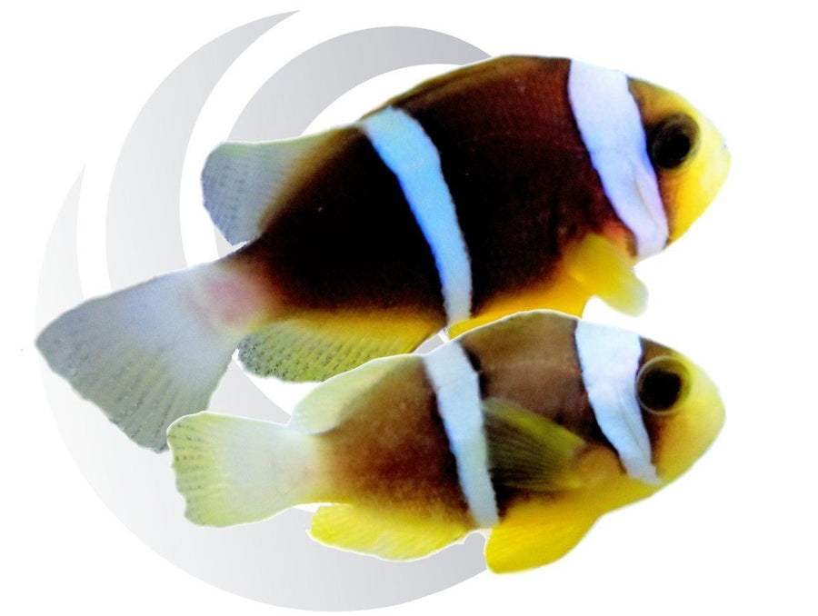 Blueline Clownfish Pair