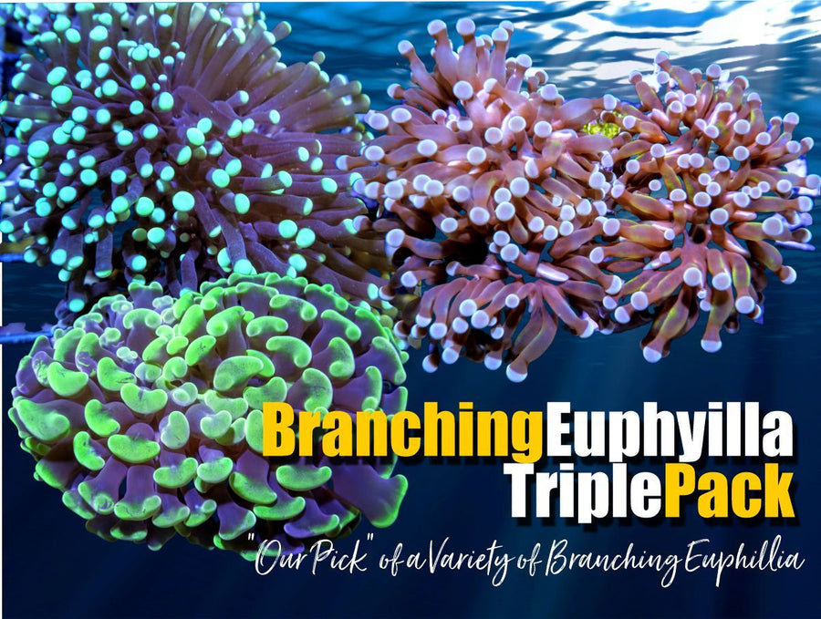Branching Euphyllia Special