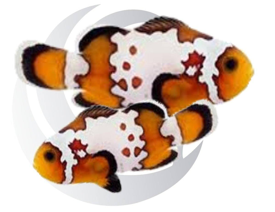 Bullet Hole Clownfish