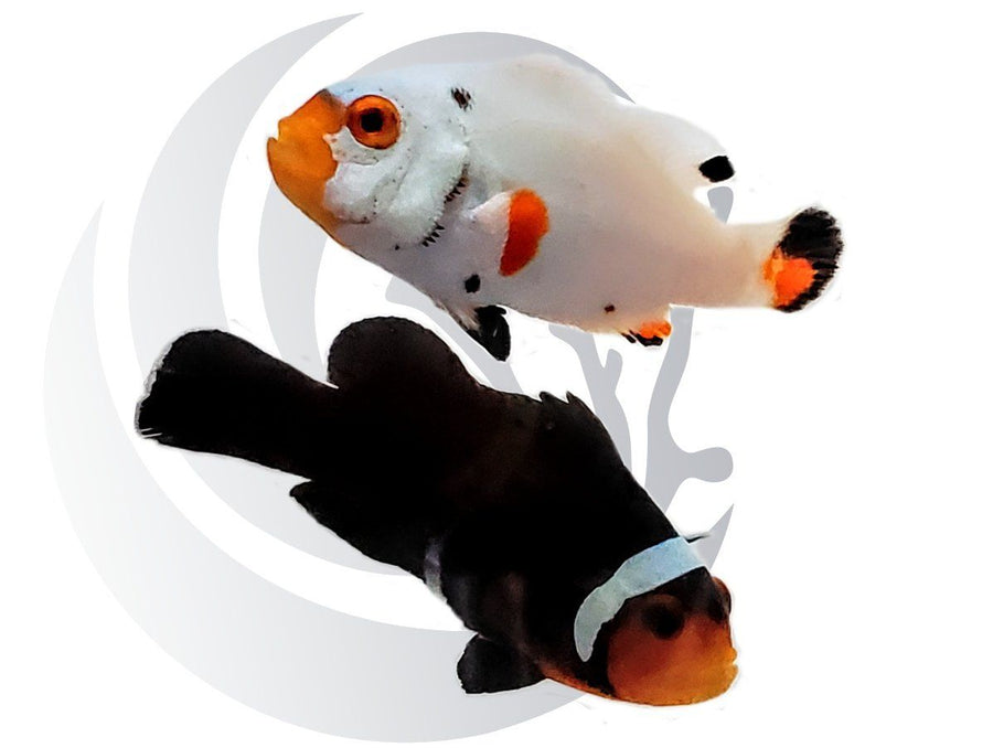Day & NIght Clownfish Pair Captive Bred