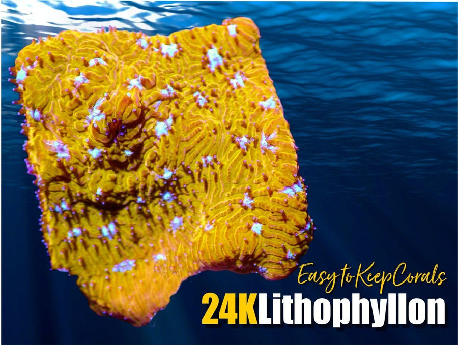 24K Lithophyllon