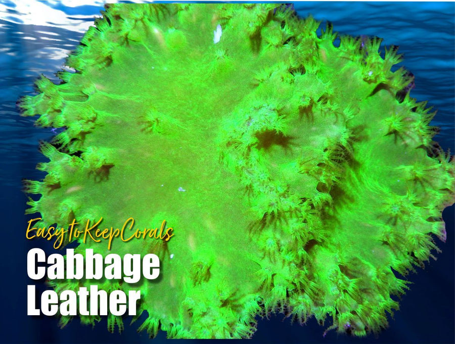 Cabbage Leather - Easy to Keep
