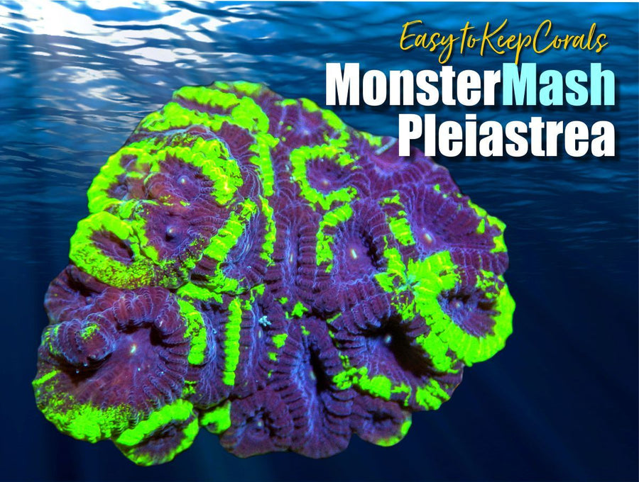 Monster Mash Pleiastrea - Easy to Keep