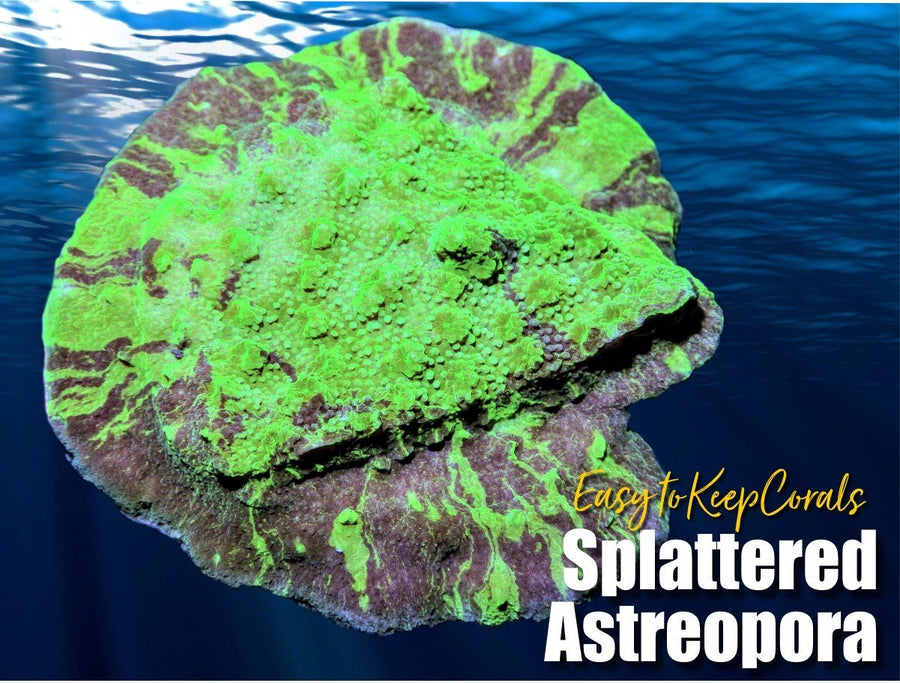 Splattered Astreopora - Easy to Keep