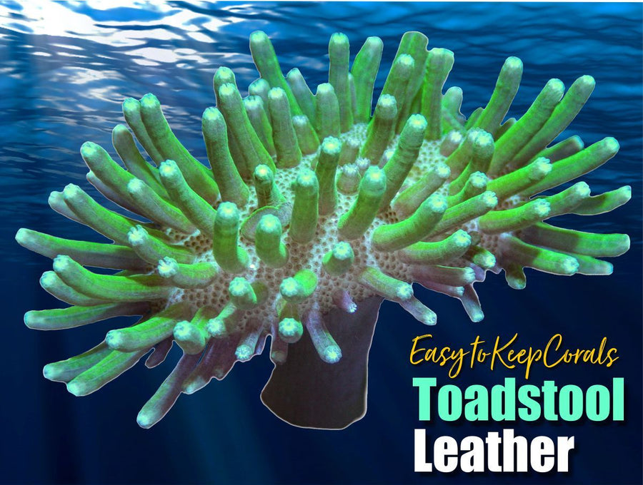 Green Toadstool Leather