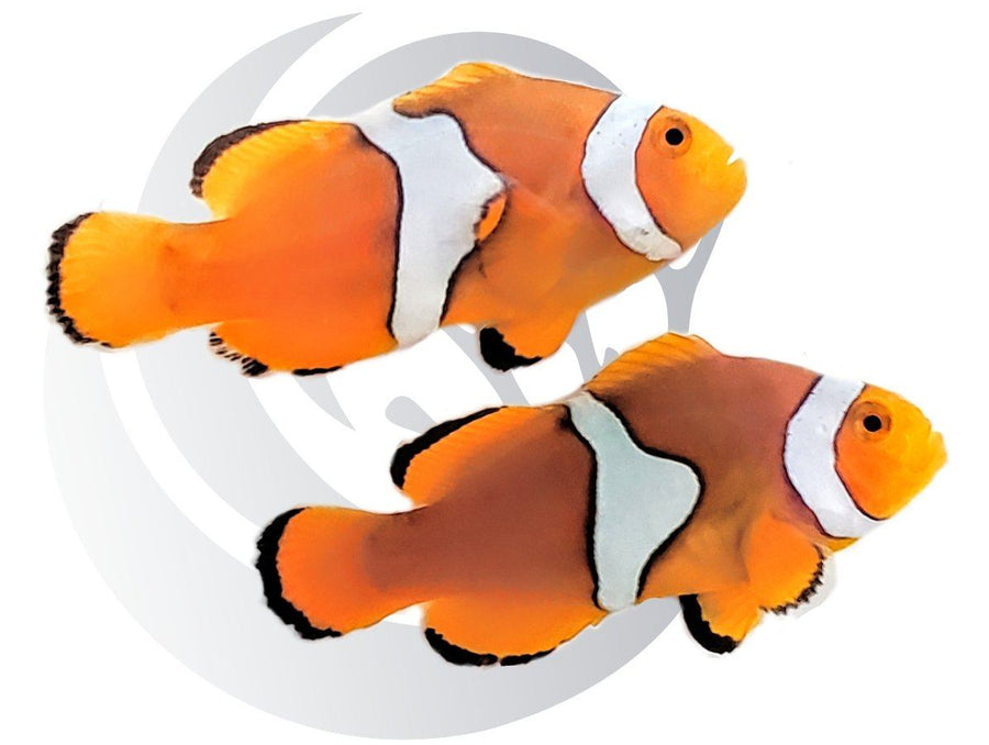 Extreme Misbar Ocellaris Clownfish Pair Captive Bred