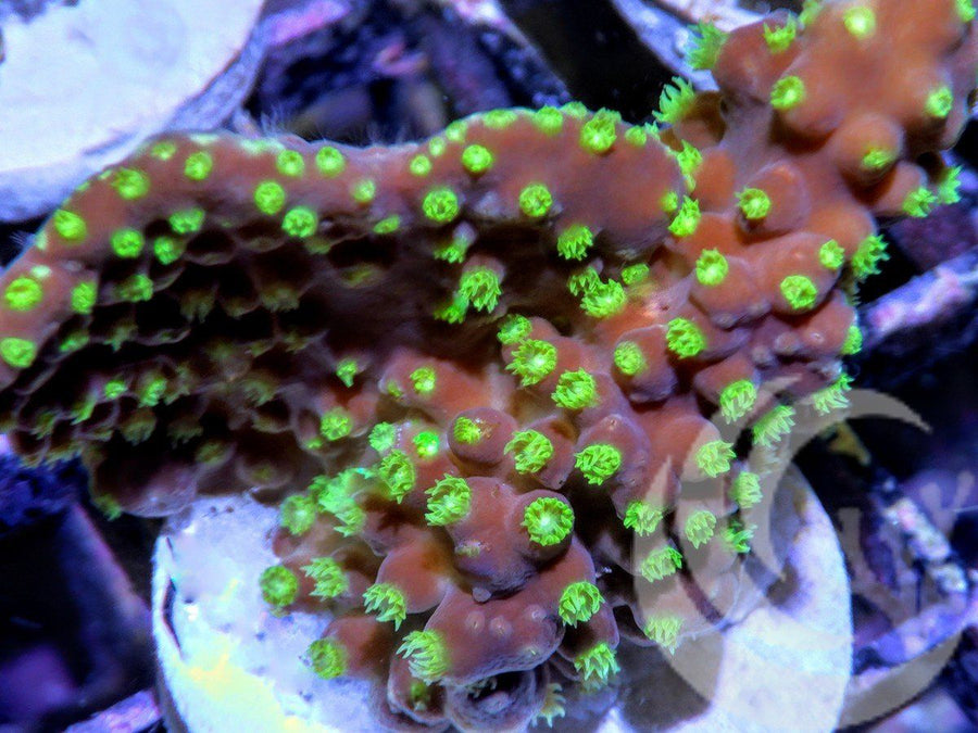 Bright Lime polyp Scrolling Turbinaria