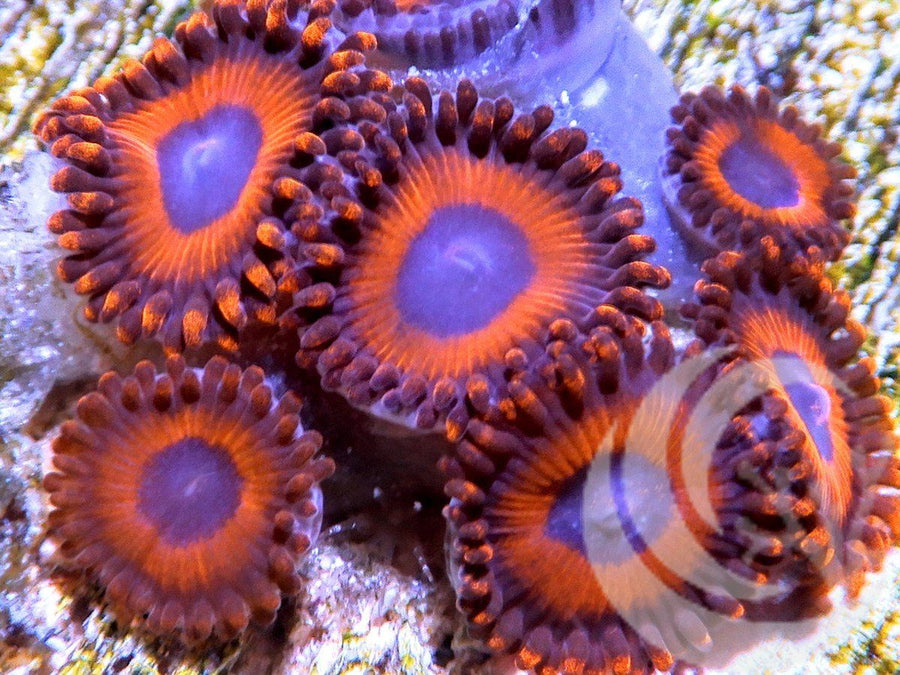 Red Halo Zoanthids